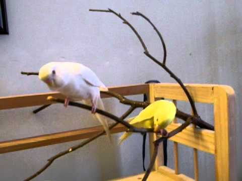 chim quý hiếm đã thuần, huýt sáo, gọi tên bay về với chủ 2. Liên hệ: 0923422666