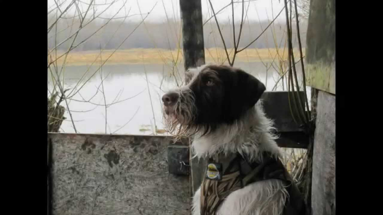 German Wirehaired Pointer Hunting - YouTube