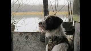 German Wirehaired Pointer Hunting