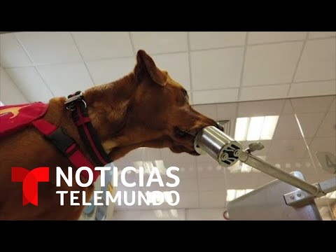El Olfato De Los Perros, Un Arma Contra El Coronavirus | Noticias Telemundo