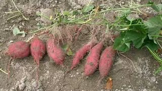 Filipino Kamote Sweet potato grows like crazy out of control in Australia