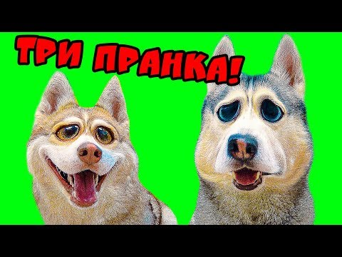 ПРАНКИ НАД СОБАКАМИ ХАСКИ!! (Хаски Бандит) Говорящая собака DOGVLOG