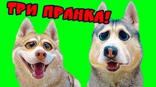 ПРАНКИ НАД СОБАКАМИ ХАСКИ!! (Хаски БУБЛИК) Говорящая собака DOGVLOG