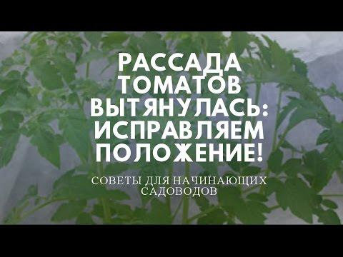 Рассада томатов вытянулась, что делать? Заглубить в посадочной емкости.   вытягивается   растение   томатов   рассада   томаты