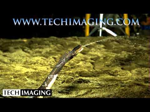 High Speed Camera Video - Cobra spitting venom