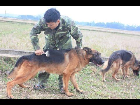 Chó becgie đức thuần chủng Phạm Hoàng 0982424142