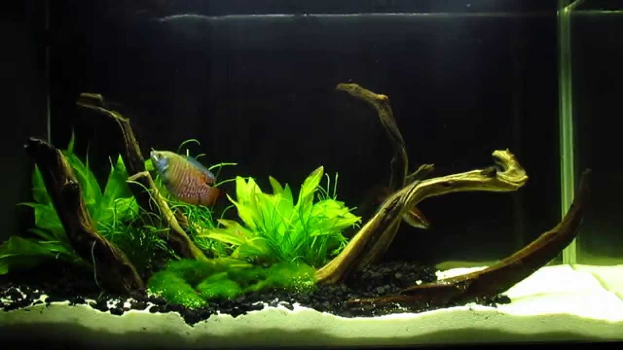 Awesome Fluval Spec V, 5 Gallon Aquascape Planted Desk Tank With Red Fire Gourami.    YouTube