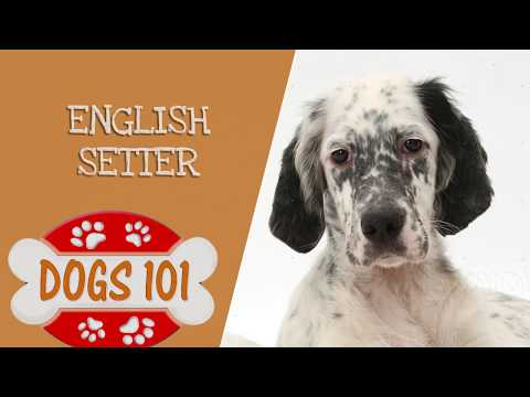 Dogs 101 – English Setter – Top Dog Facts About the English Setter