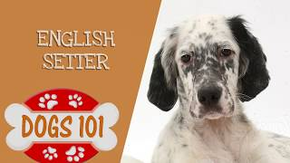 Dogs 101  English Setter  Top Dog Facts About the English Setter