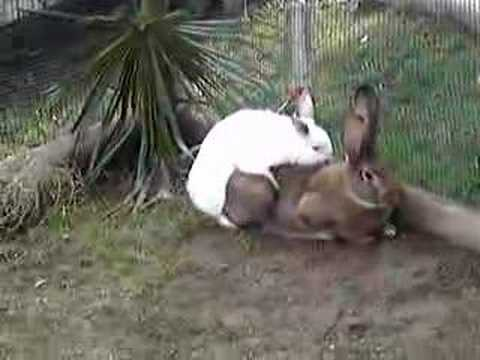 Rabbit sex video