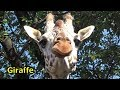 キリンさん🦒の顔芸 Giraffe cute funny face【羽村市動物公園】