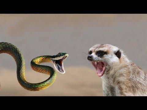 देखीये सांप और नेवले कि Live जबरदस्त लढाई - Mongoose Vs Snake - Live  dangerous battle