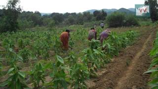 A Boost for Lac Cultivation in Jharkhand