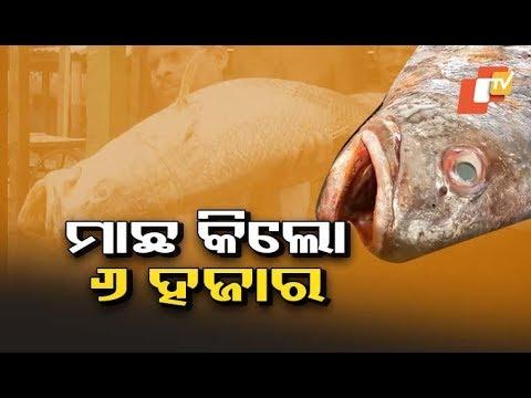 Rare Fish In Odisha Waters Sold At Rs 1.8 Lakh