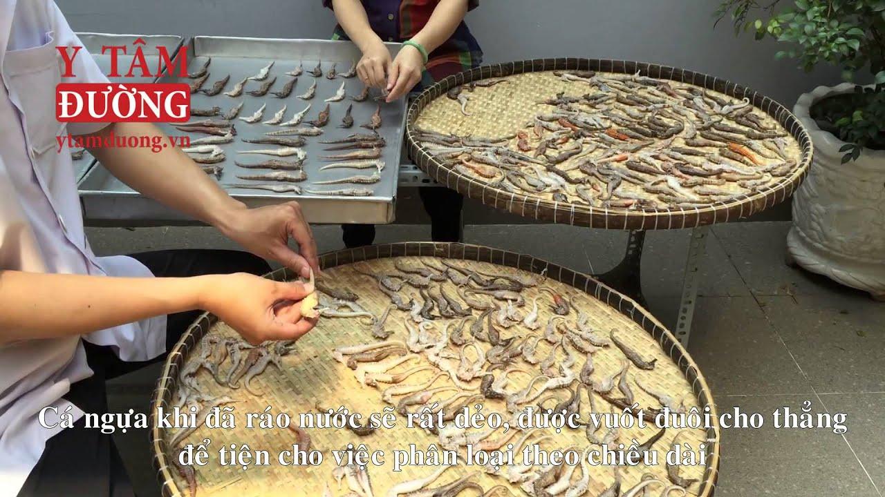 Sơ chế cá ngựa tươi (Hải Mã) – vị thuốc bổ thận tráng dương