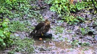 A Sparrowhawk killing and plucking a Starling