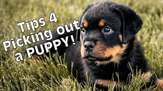 How to pick out a Puppy Rottweiler