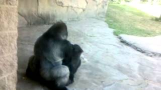 Gorillas fucking at the Pittsburgh Zoo