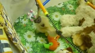 Пензенский зоопарк: малышка гиббон Варя