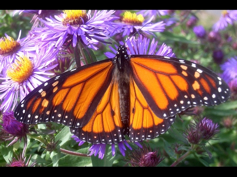 Monarch Butterflies at Pacific Grove, California