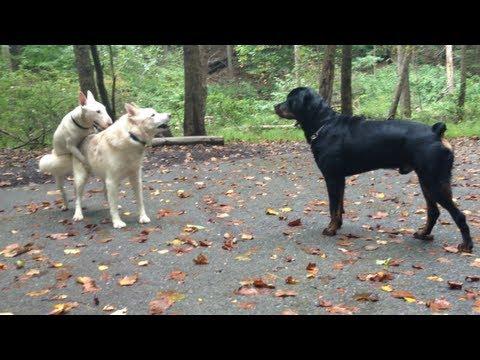 Rottweiler Vs. Husky