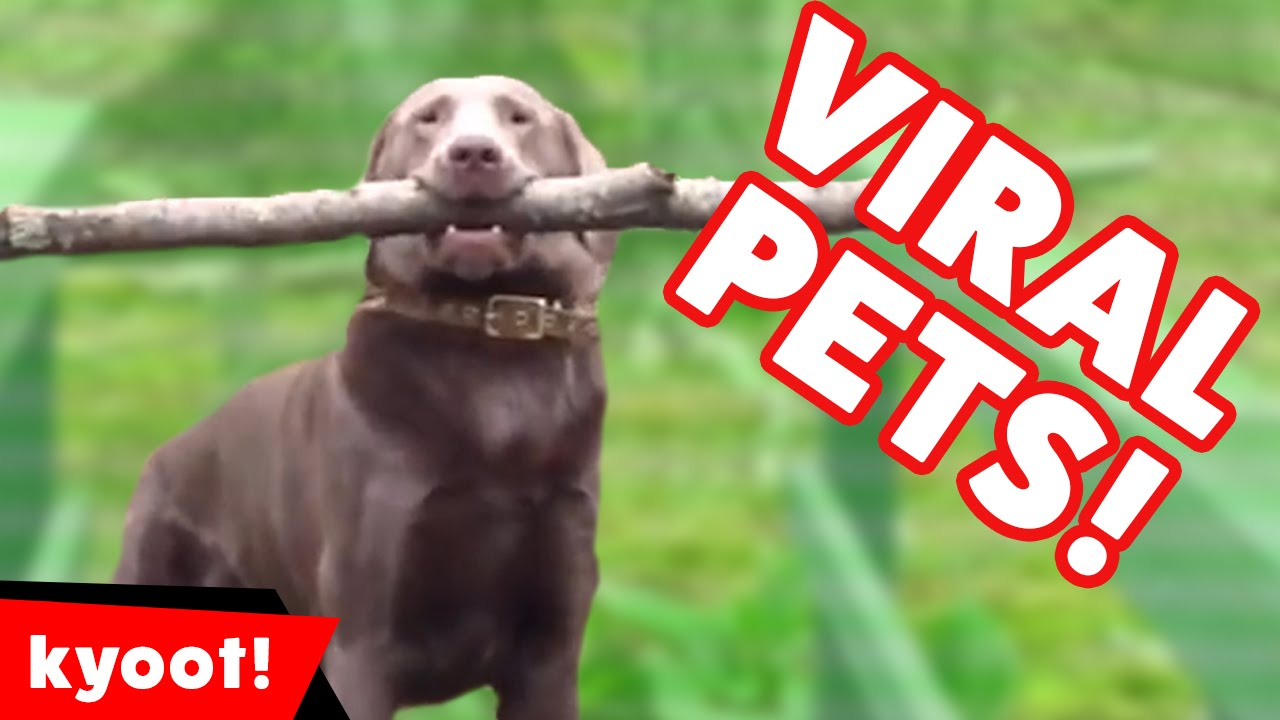 Top Funniest Viral Pet Videos of 2016 Weekly Compilation | Kyoot Animals