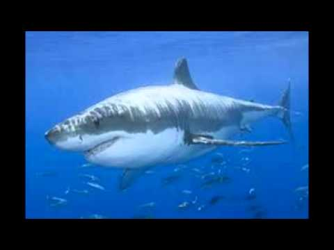 great white shark amp bull shark the differences doovi