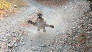 ПУМА В ДЕЛЕ... Пума против Медведя, Собаки, Рыси и Барсука!