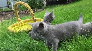 Озорные русские голубые котята