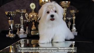 ПРОДАЕТСЯ щенок мальтезе +79085650206