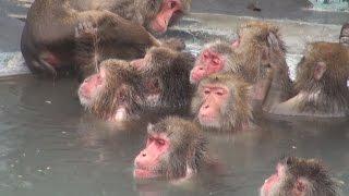 北海道函館市の湯の川温泉にある市熱帯植物園のサル山で、のんびりと露...