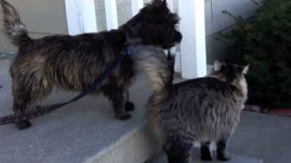 Cairn Terrier Puppy Plays With Cat