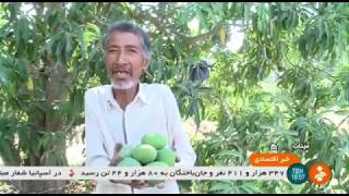 Iran Mahreghan village, Minab county, Spring 1399, Mango harvest انبه روستاي مهرگان ميناب