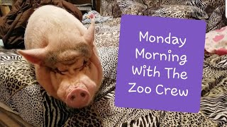 MINI PIG MONDAY MORNING ROUTINE WITH THE ZOO CREW 💖🐽💖
