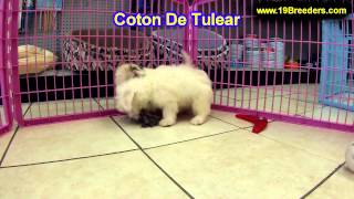 Coton De Tulear, Puppies For Sale, In, Bellevue, Washington, Wa, Yakima, Kitsap, Thurston, Clark, Sp
