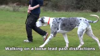 Susie - 4 Year Old Great Dane - 3 Week Residential Dog Training With Adolescent Dogs