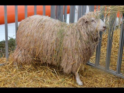 Мелкий рогатый скот на выставке Золотая Нива-2012