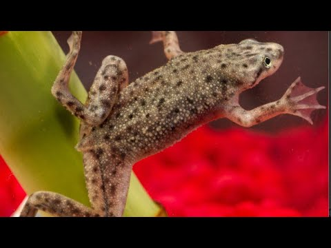 How To Setup An African Dwarf Frog Tank