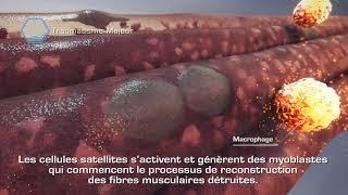 Muscle et cellules souches: Réparation après un traumatisme majeur
