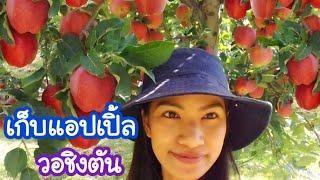 เก็บแอปเปิ้ล ลูกแดงๆ กินจากต้น และ ดูวิวทางกลับบ้าน/c.k.taylor/เก็บผลไม้ต่างประเทศSeptember 17, 2018
