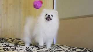 померанский шпиц щенок мини белого окраса