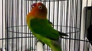 Gambar cover Burung Love Bird Cerewet Ngekek Panjang !!! Pemancing Love Bird Agar Rajin Ngekek