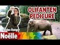 Hoe verzorg je enorme olifanten?