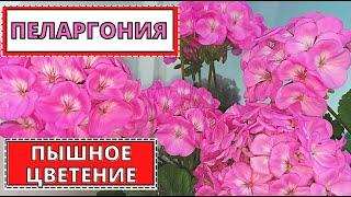 ПЕЛАРГОНИЯ - как добиться пышного цветения. Мои советы по уходу
