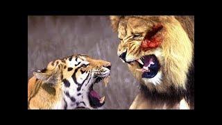 ライオン VS トラ - トップ 5 アタック フル HD ライオン VS トラ - ト...