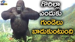 why gorilla beat their chest | Amazing and Interesting  Facts about Gorilla | Eyeconfacts