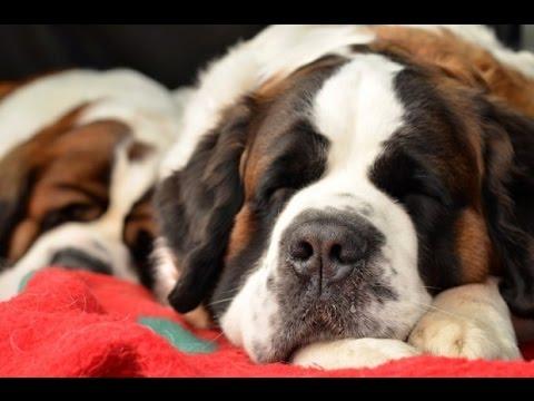 Dicas e cuidados com São Bernardo - Paixão por animais