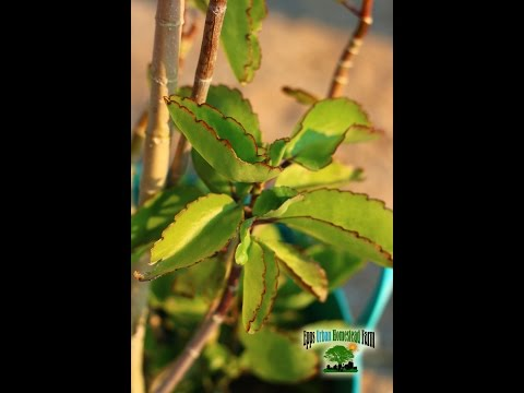 Leaf of Life Benefits (bryophyllum pinnatum) Medicinal Herb Plants!