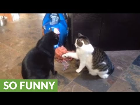 Cat considers slapping bigger cat, quickly changes her mind