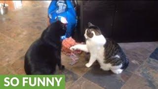 今にもネコパンチしそうな猫、相手が自分より大きかったので…(動画)